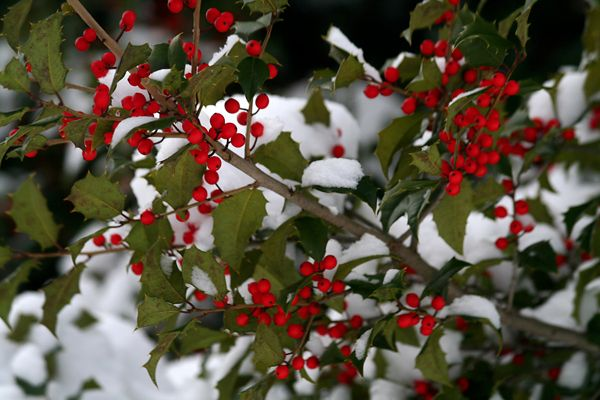 red_holly_berries_zpsb01c5bc2-1.jpg